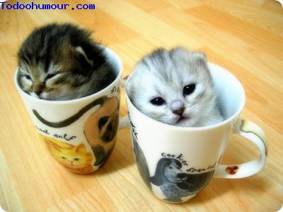 Chats dans des tasses